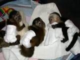 Adorable Capuchin monkeys ready