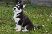 Kc Registered Blue Eyes Siberian Husky Puppies