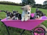 Welsh Corgi Pembroke Puppies Ready