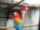 I have a pair of Scarlet Macaw