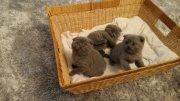 adoption scottish fuld cats
