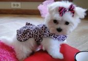 Purebred Teacup Maltese Puppies for sale