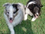 Outstanding Shetland Sheepdog puppies for sale