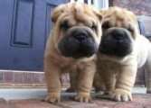 Purebred Chinese Shar-Pei Puppies for sale