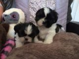 Affectionate Shih Tzu Puppies for sale