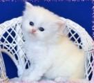 Splendid Looking Persian Kittens Ready For Valentine's sale.